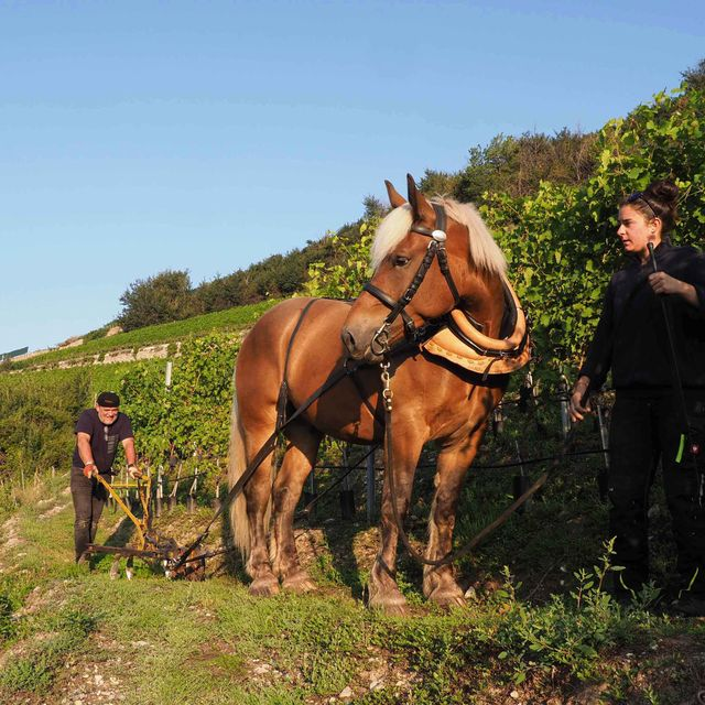 Taking care of the soil and vineyards - Horse - Cave des Bernunes - Valais